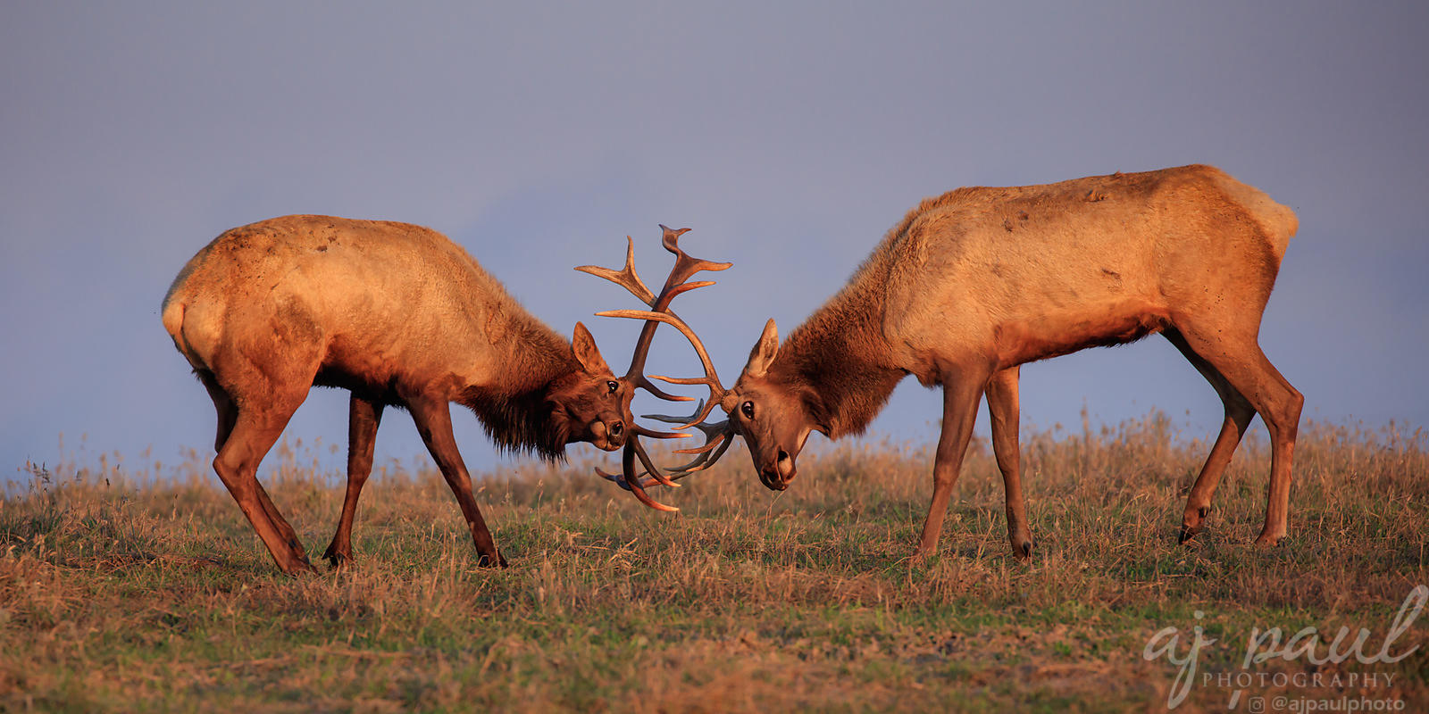 Moose, Elk, & Bison