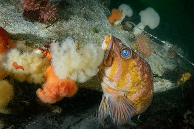 Old Copper Rockfish, Sebastes caurinus,using the the hull of a wrecked sailboat as cover.
