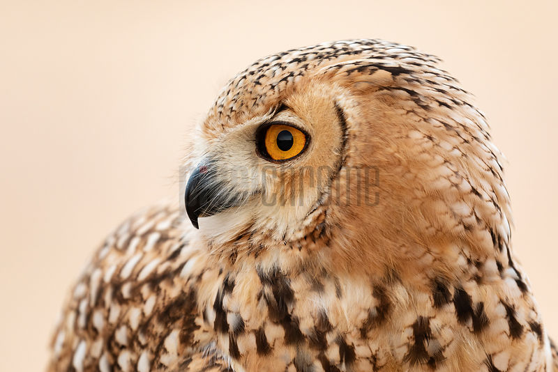 Portrait of a Pharaoh Eagle-owl (Bubo ascalaphus)