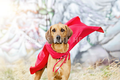 Redbone_Coonhound_in_cape