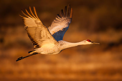 Sandhill Crane in Sweet Light