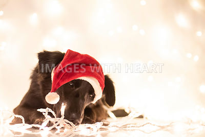 Black dog with Christmas lights and Santa hat