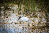 A Black Headed Ibis in Everglades National Park, Florida