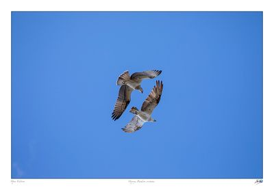 Two juvenile Ospreys gliding together