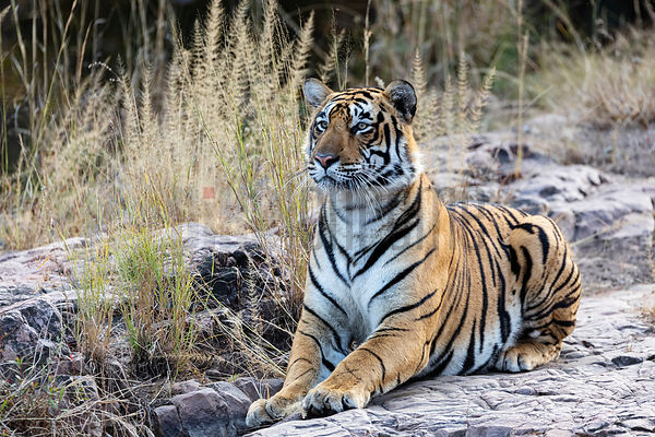 Bengal Tiger Alert to the Presence of Prey