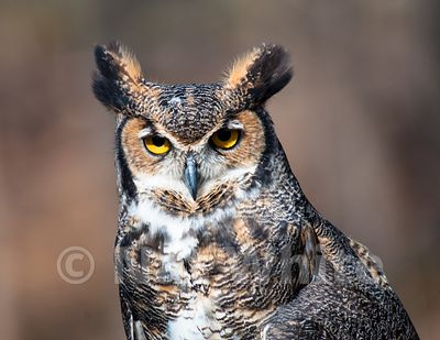 Great_Horned_Owl-Filename_number_suffix-_1March_23_2013_NAT_WHITE