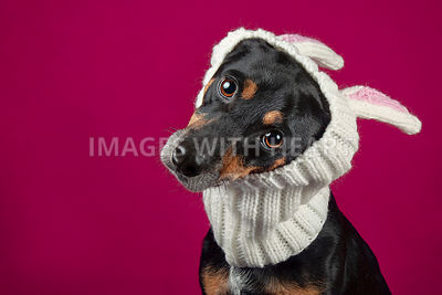 Dog_wearing_bunny_ears_on_pink_background_looking_at_camera