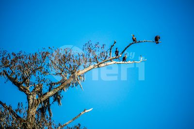 Double Crested Cormorant birds in Abbeville, Louisiana