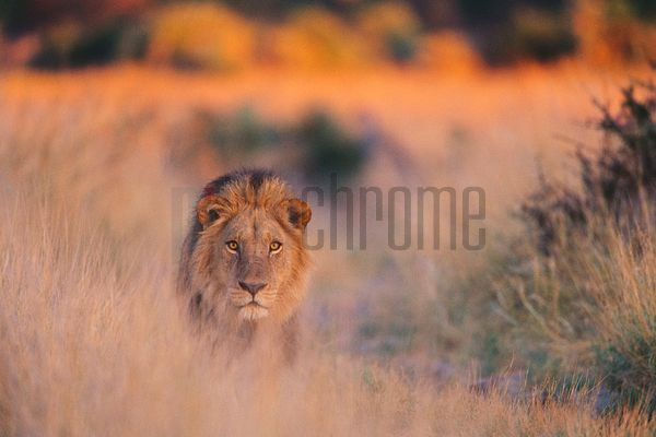 Lion in Grass