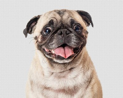 Happy Pug Dog Tongue Out Extracted