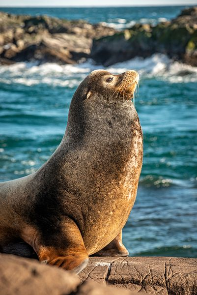 Male California Sea Lion surveying its domain.