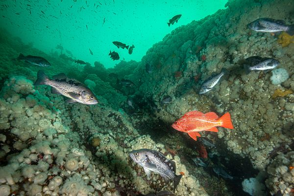 Black and Vermilion Rockfish on a Plumose Anemone covered wall at Hussar Point, Browning Pass.