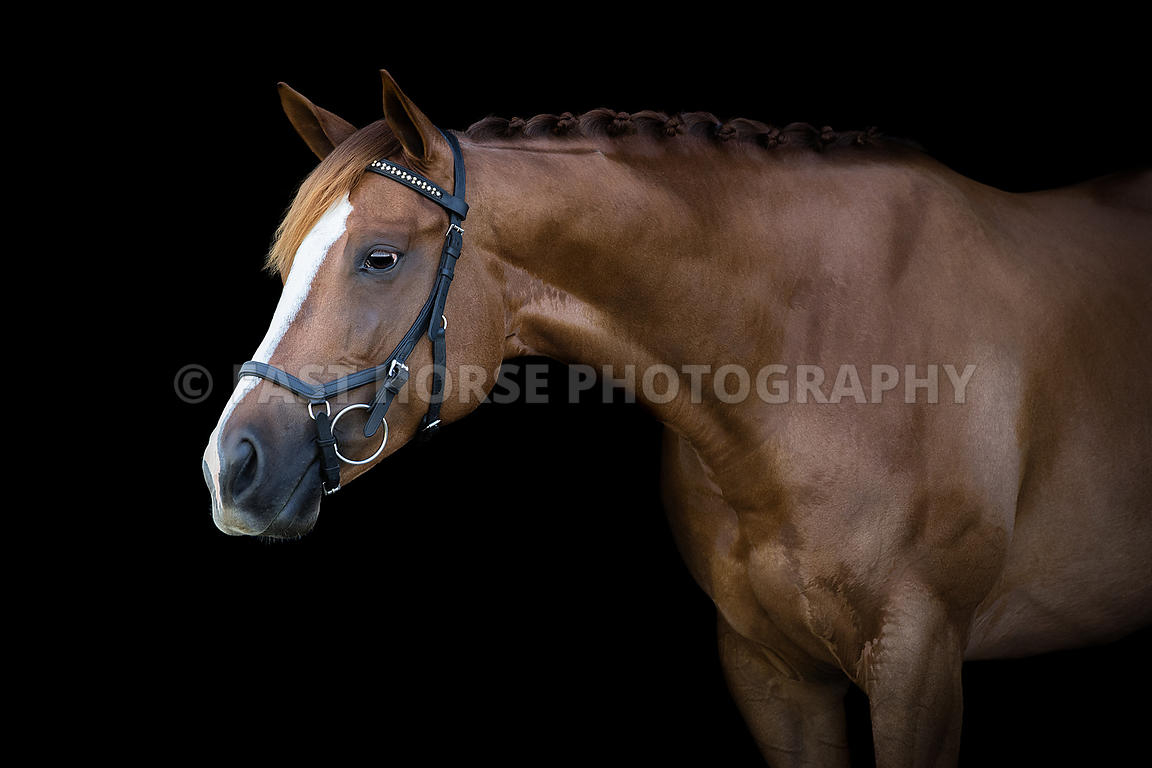 Fast Horse Photography Arabian Stallion