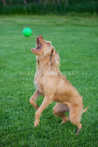 Dog_Catching_Ball_In_Grass