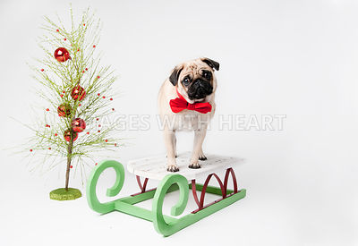 Pug on sleigh