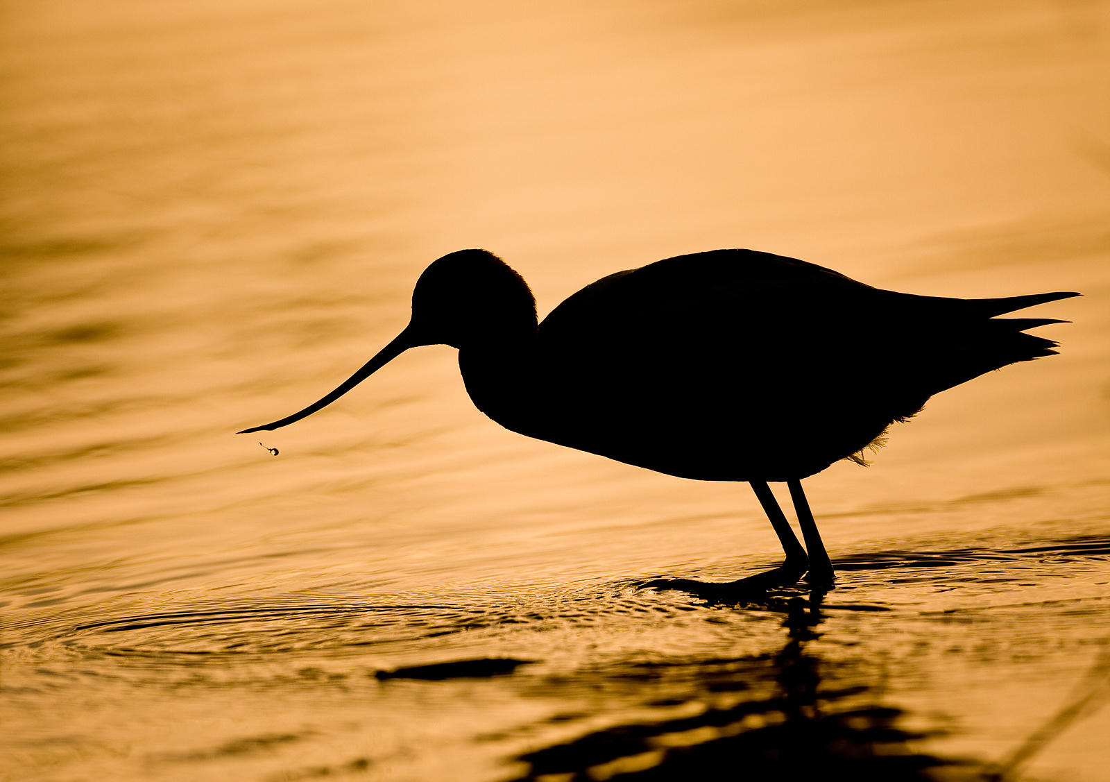 Avocet and Water Droplet