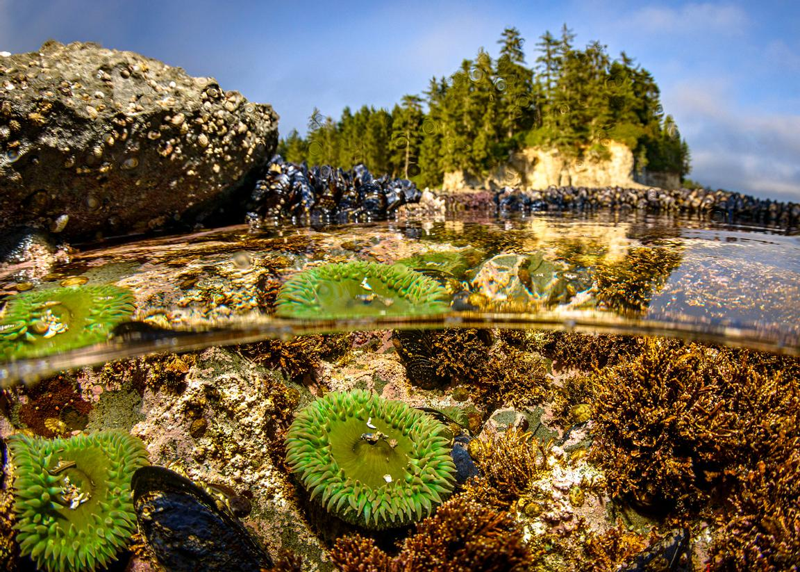 Green Surf Anemone in tide pools at Botanical Beach, Port Renfrew.