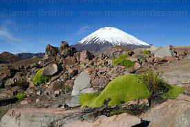 Yareta plant (Azorella compacta) and Parinacota volcano, Lauca National Park, Region XV, Chile