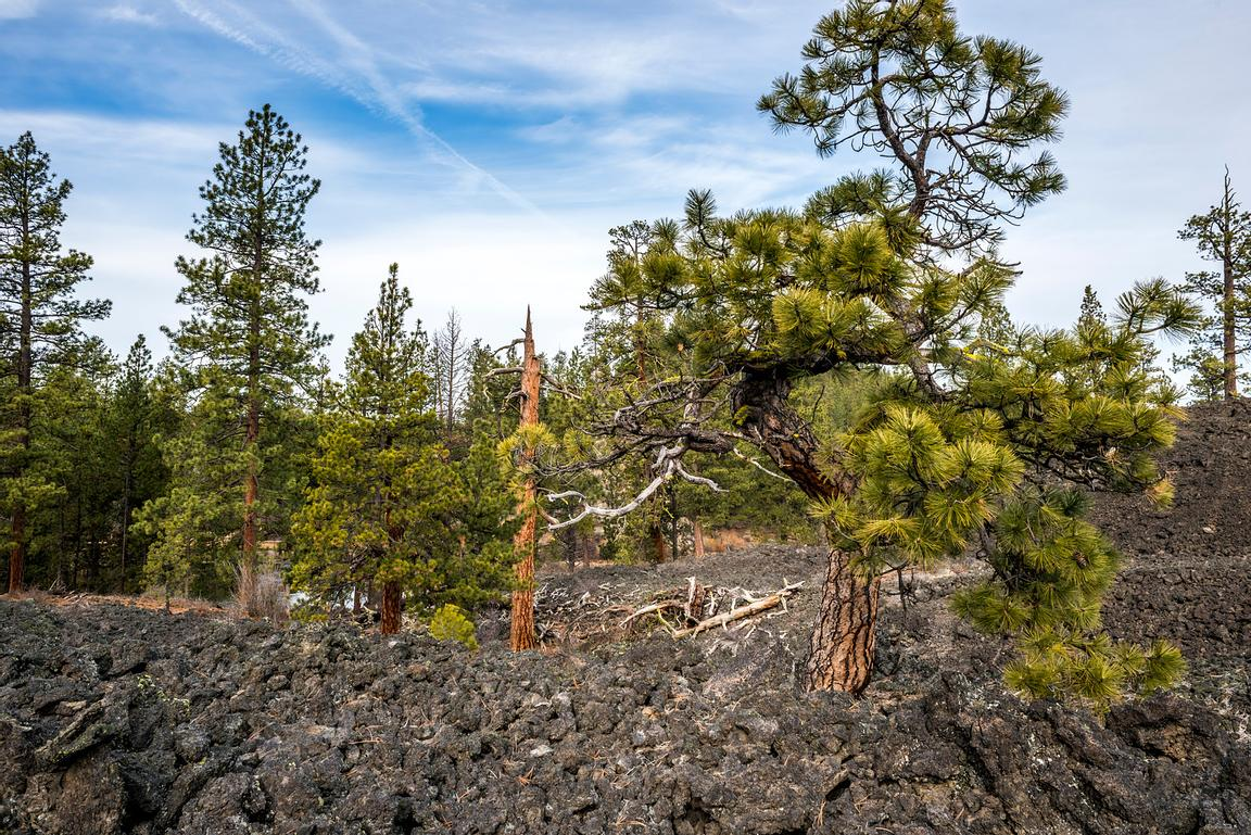 Ponderosa Pines growing out of the hars landscape at Lava Butte, Oregon.