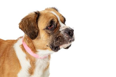Cute pet crossbreed dog closeup right facing isolated