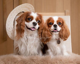 Studio Photo of Two Happy King Charles Spaniels in Chair