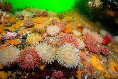 Painted Anemone and other invertebrate life covering the rocks in Drury Inlet, BC.