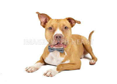 Pitbull mix lying down wearing bowtie