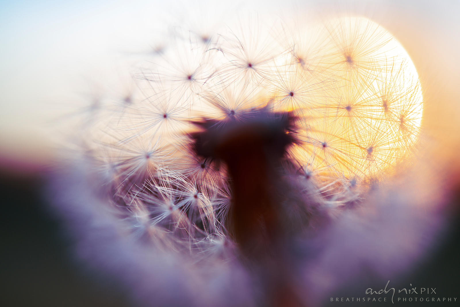 Wall Art Decor Photo Print: A view of the sunrise from inside a dandelion I