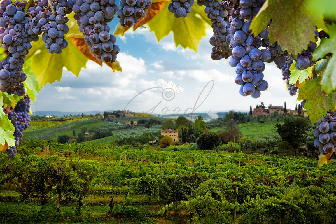 Vineyards in San Gimignano Italy