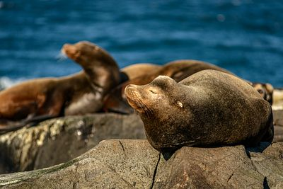 Callifornia Sea Lions, Zalophus californianus, basking on warm rocks.