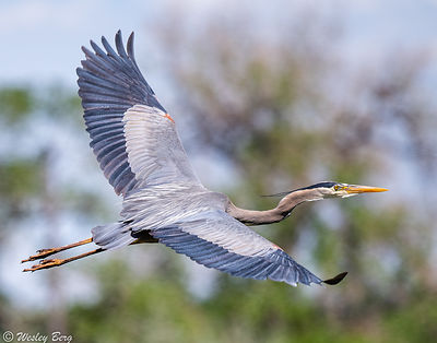 The Wings of a Great Blue Heron