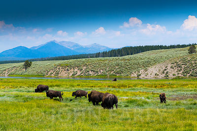 Bison in the Hayden Valley.