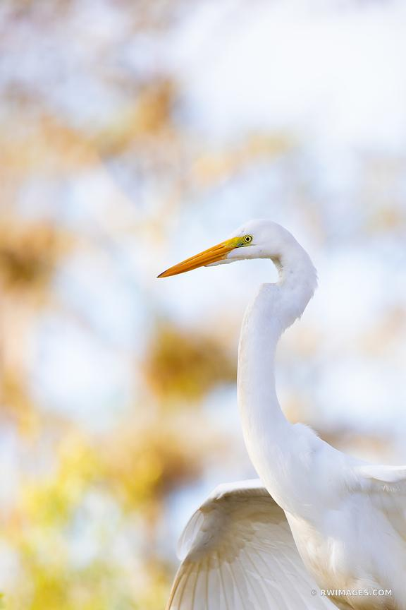 WHITE EGRET BIG CYPRESS NATIONAL PRESERVE EVERGLADES FLORIDA NATURE