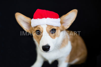 corgi puppy sitting wearing santa hat