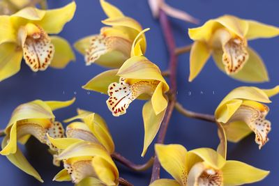 cymbidium orchis on blue