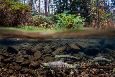 Chum salmon spawning sequence 1-01