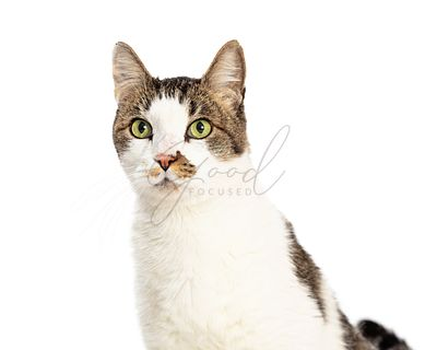 Grey and white pet cat closeup isolated