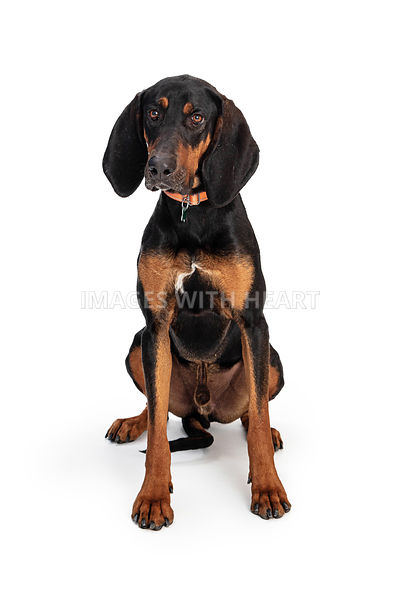 Black and Tan Coonhound Sitting on White