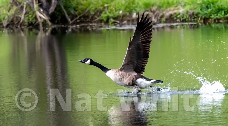 Goose_wings_and_splash_May_04_2021_NAW1655NAT_WHITE