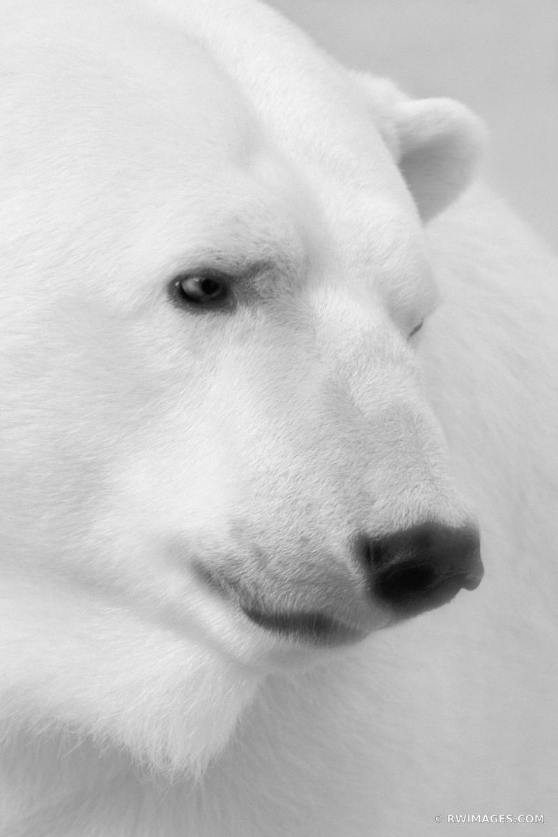 POLAR BEAR BLACK AND WHITE VERTICAL