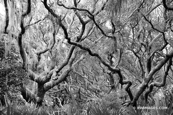COASTAL FOREST SPANISH MOSS LIVE OAK TREES CUMBERLAND ISLAND GEORGIA BLACK AND WHITE