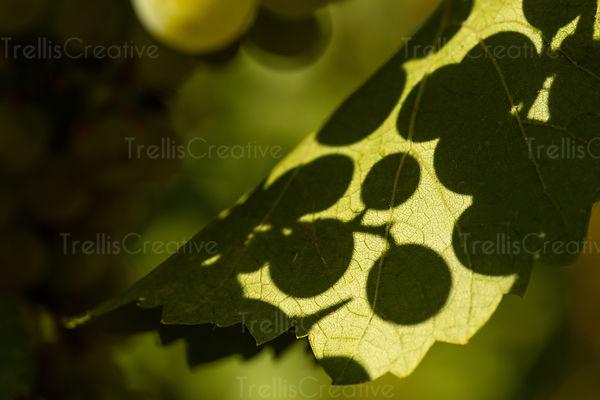 Close up of grape cluter shadow on leaf.