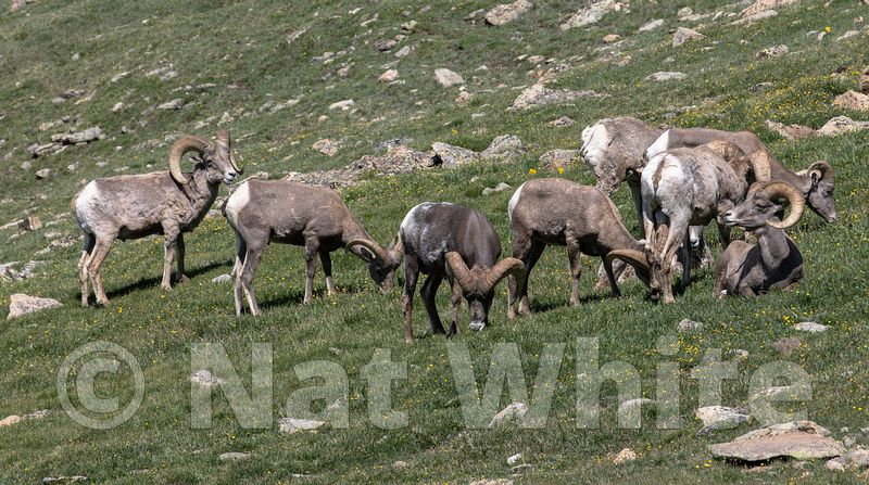 Big_Horn_Sheep_herd_-Filename_number_suffix-_1July_24_2019_