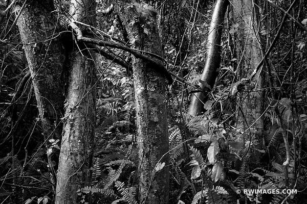 GUMBO LIMBO TREE NATURE ABSTRACT GUMBO LIMBO TRAIL EVERGLADES FLORIDA BLACK AND WHITE