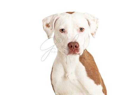 Calm white Pit Bull dog isolated closeup