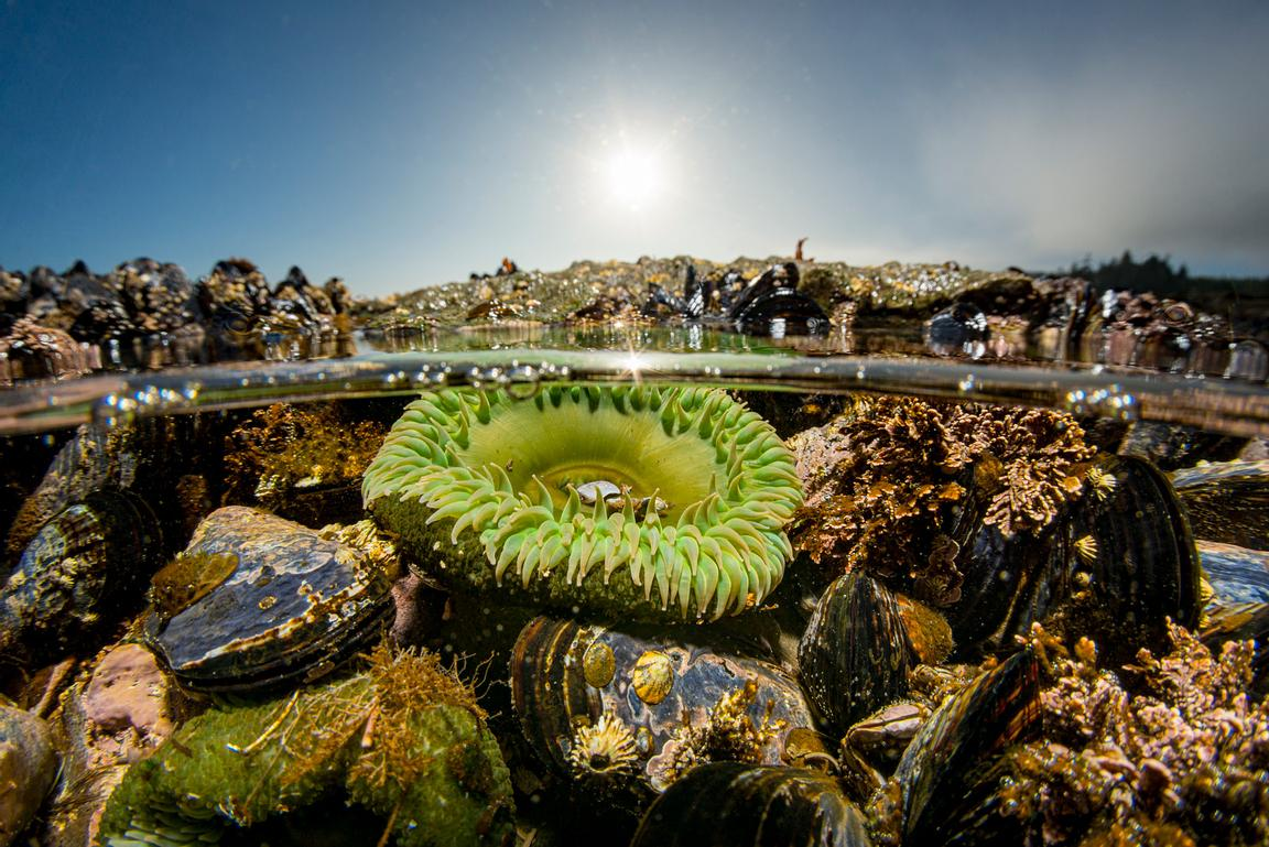 Giant Green Anemone, Anthopleura xanthogrammica, with Mussels in a tide pool on Vancouver Island near Port Renfrew.