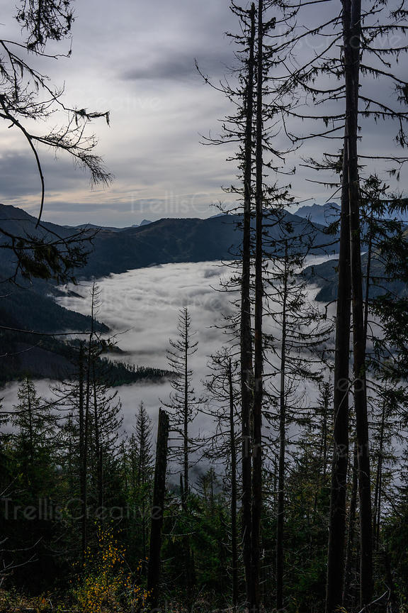 View throught pine trees of the fog settling in the valley of mountains in Chamonix, France