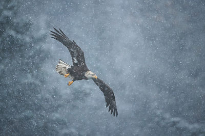 Young Eagle in Heavy Snow