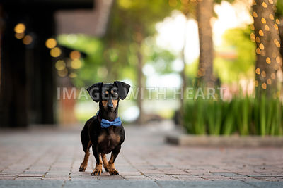 Black and Tan Dachshund wearing bowtie standing in urban setting