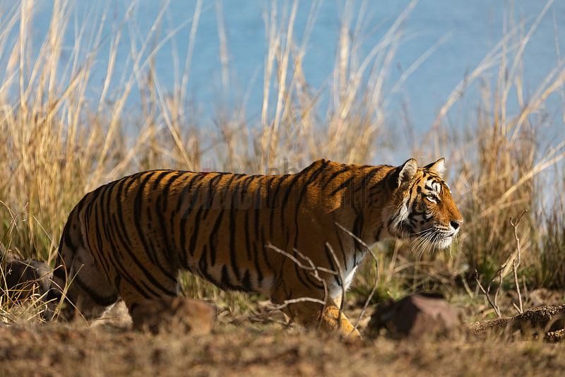 Tigress Walking along Lakeshore